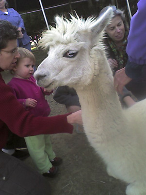 Kneeling alpaca
