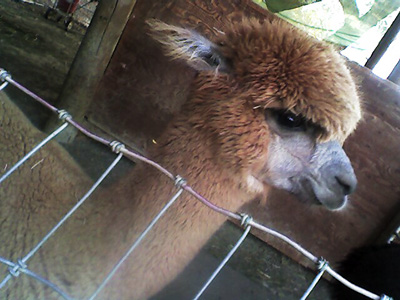 Another alpaca